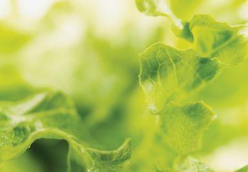 Salade verte à la moutarde
