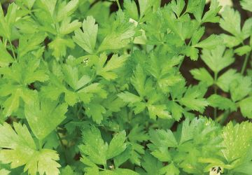 Salade de chou-fleur de Caro